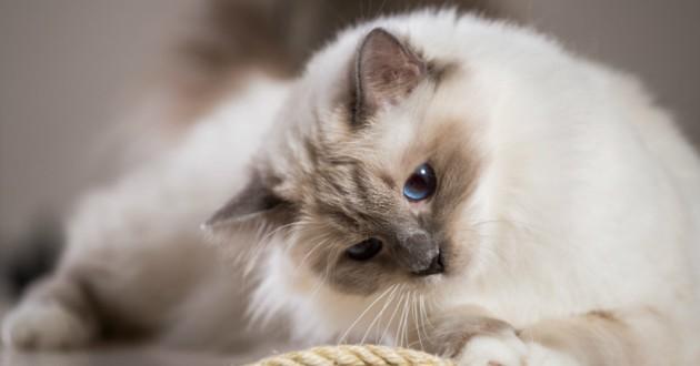 chaton sacré birmanie