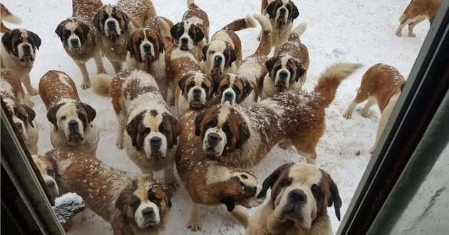 plusieurs saint bernard dans le neige