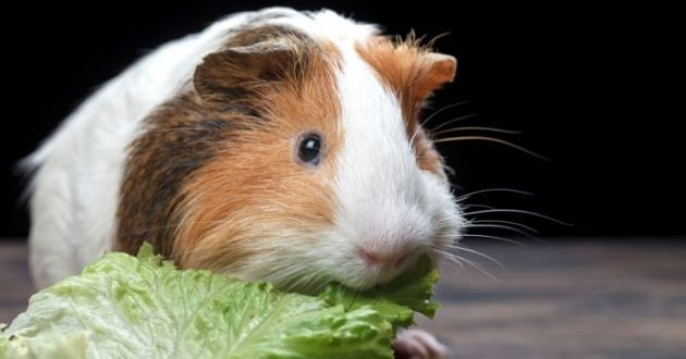 cochon d'inde salade