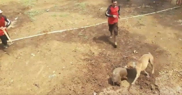 combat chiens sangliers