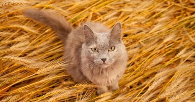 chat céréales