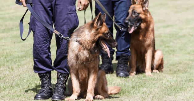Ces chiens policiers sont de véritables héros
