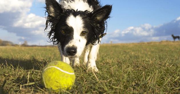 Chien flairant une balle de tennis