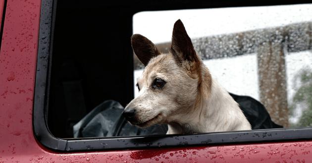 Chien dans une voiture sous la pluie