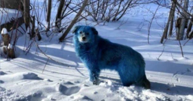 Des chiens bleus sont apparus en Russie