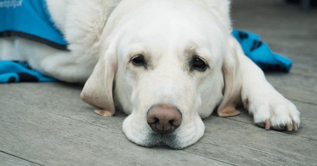 Lancement d'une étude canine sur le vieillissement