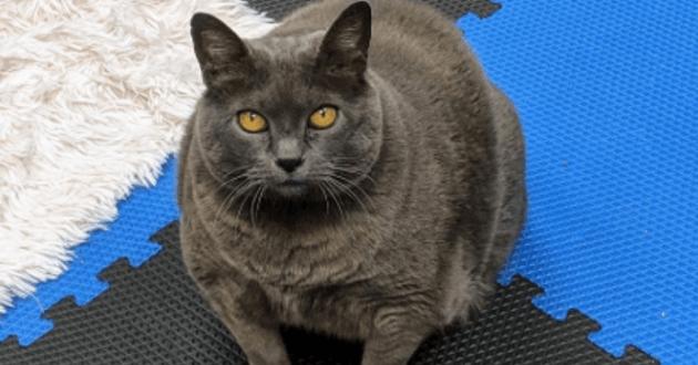 Ce chat obèse refuse de faire du sport