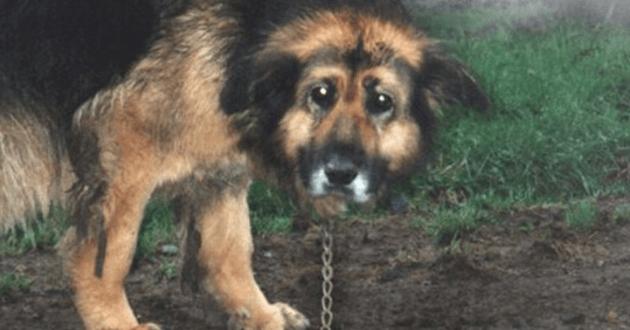 Cette chienne a passé 10 ans enchaînée