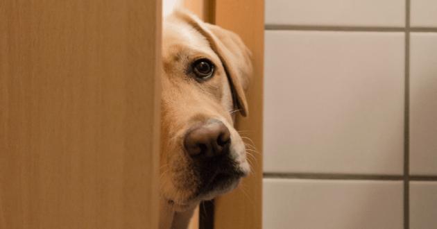 Chien regarde dans l'entrebâillement d'une porte