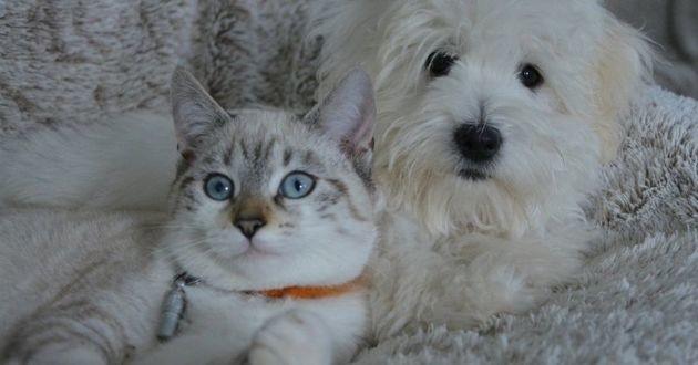 Le risque d'attraper le Covid-19 est accru chez les chats et les chiens dont le maître est testé positif