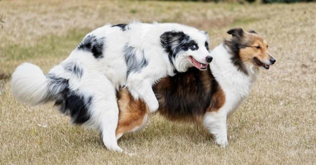 chien chevauche autre chien