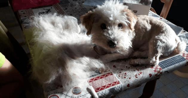 Un chien posant à côté d'un tas de poils