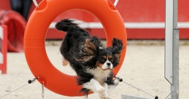 chien sport agility