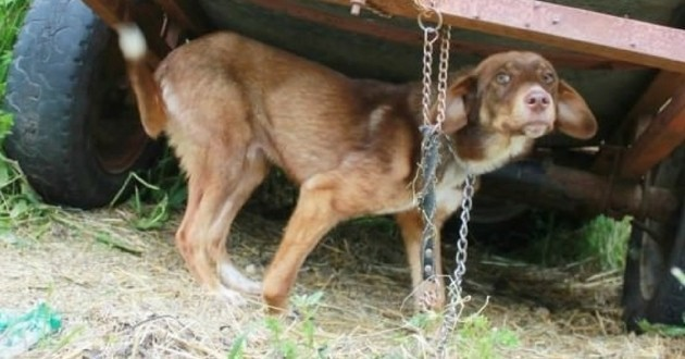 Duke chien enchaîné caravane