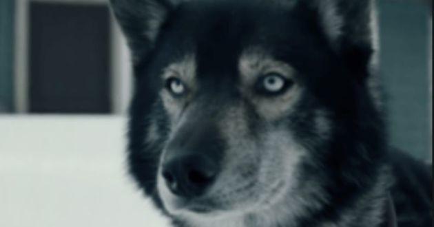 Le Husky, héros du film