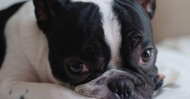 Le Bouledogue français, bientôt le chien le plus populaire ?