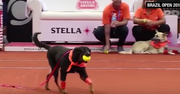 chiens ramasseurs de balles tennis