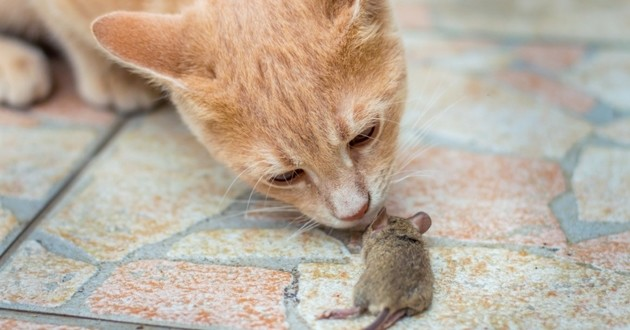 chat chasse rat