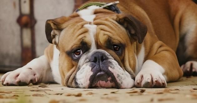 chien triste rancunier