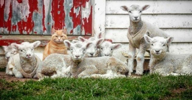 chat troupeau agneaux