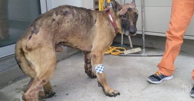 Fudji chien berger allemand brûlé