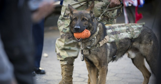 malinois chien armée soldat syrie