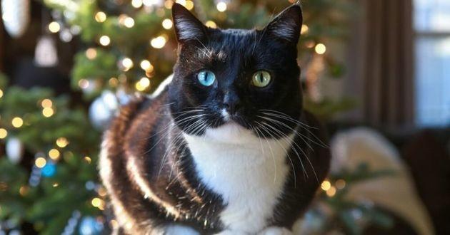 chat noir et blanc près d'un sapin