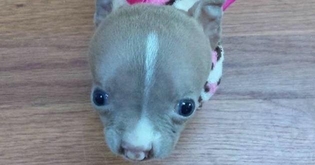 sasha pitbull minuscule