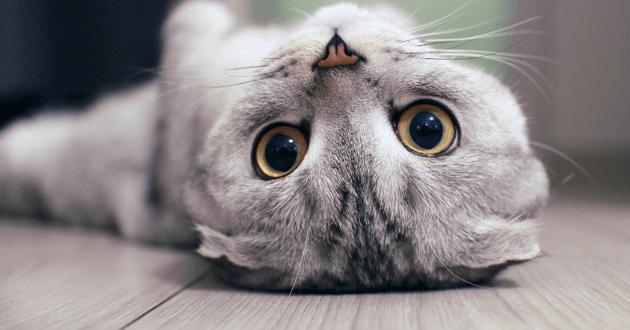 Chat scottish fold sur le dos