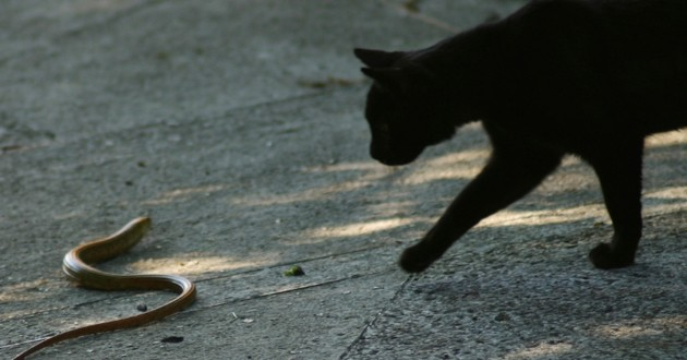 Quand un chat rencontre un serpent venimeux