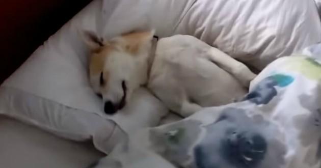 shiba inu qui dort