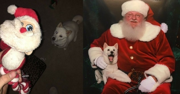 Shiba Inu père Noël