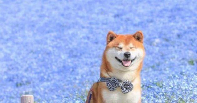 Cette propriétaire sublime son Shiba Inu en le photographiant dans des champs de fleurs