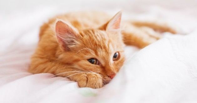 chat roux allongé sur un lit