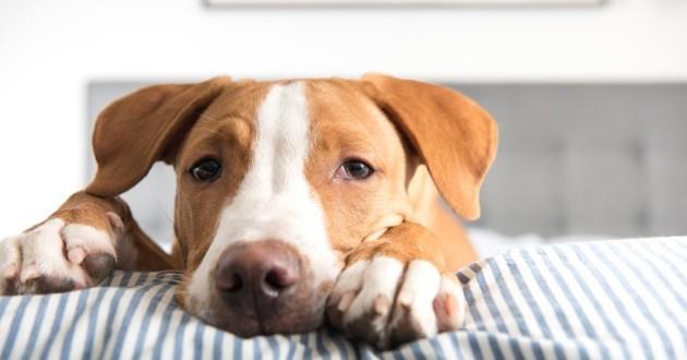 chien allongé sur un lit