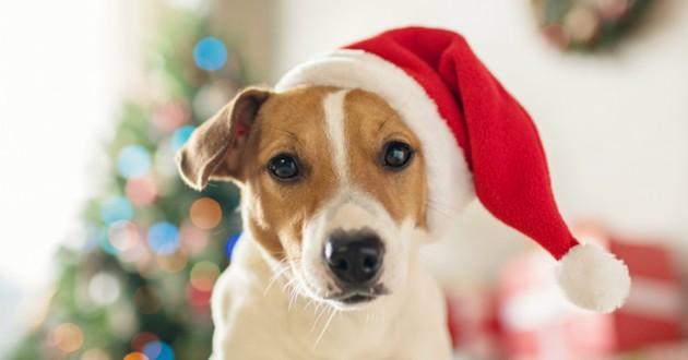 Chien De Noel 15 chiens qui attendent le Père Noël (Photos)   Web   Wamiz