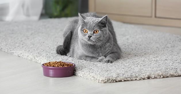 un chat devant sa gamelle de croquettes
