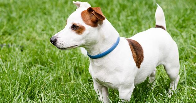 pelage d'un chien traité avec une pipette
