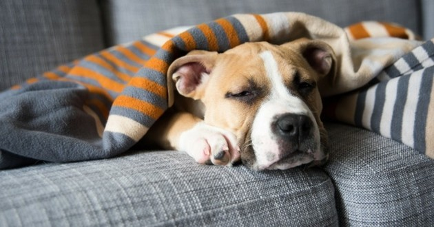 chien crise d'épilepsie