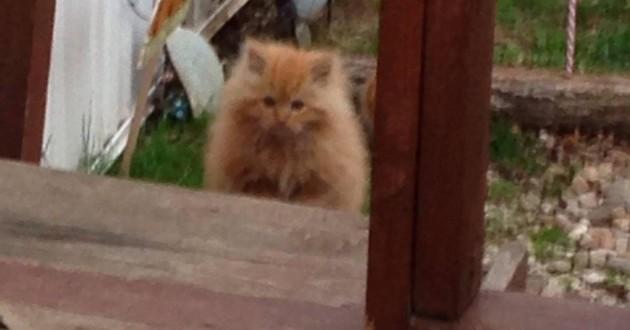 chaton errant roux sauvage