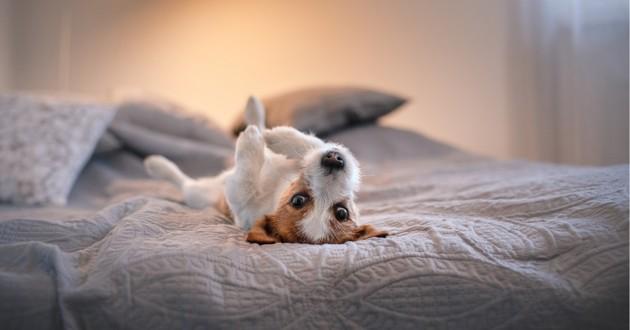 un petit chien qui fait la sieste sur un lit
