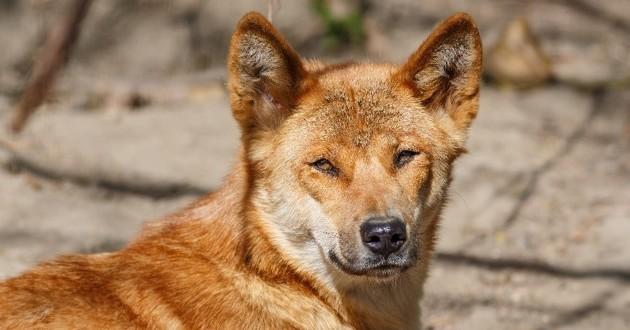 chien chantant nouvelle guinée