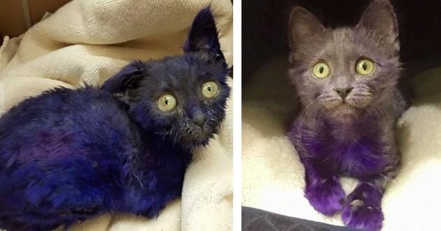 Smurf, le chaton teint en violet qui a servi de jouet à mâcher va beaucoup mieux !