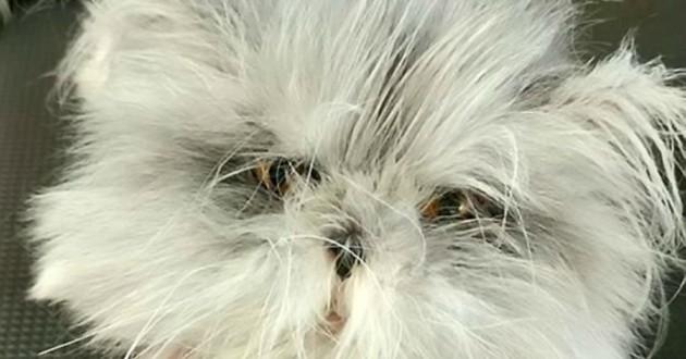 chat persan loup garou