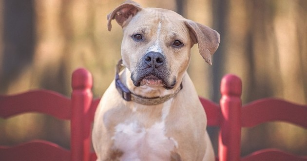 Staffordshire bull-terrier
