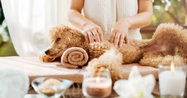 un chien qui se fait masser au spa