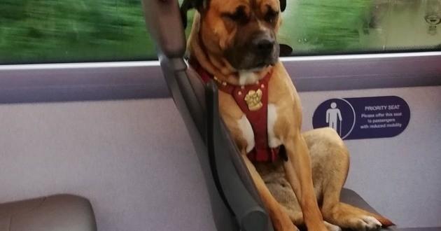 chien Staffie-cross abandonné dans un bus