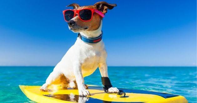 un chien qui fait du surf avec des lunettes de soleil