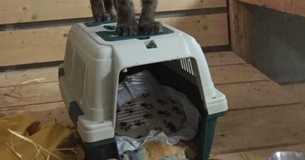 puma sur une litière