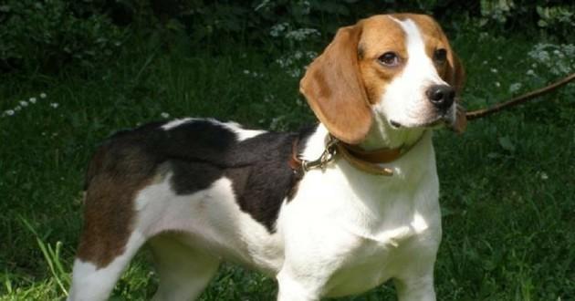 Beagle de laboratoire